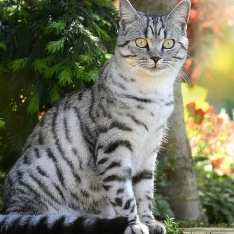 American Shorthair Cat Breed Info