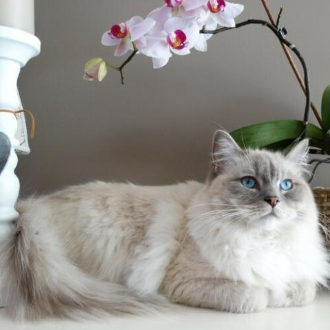 Ragdoll Cat Breed Info